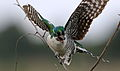 Diederik cuckoo, Chrysococcyx caprius (male), at Rietvlei Nature Reserve, Gauteng, South Africa (23634195505).jpg