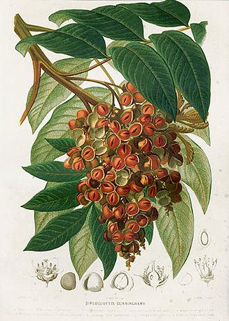 Henri Ernest Baillon - Diploglottis cunninghamii, Baillon's Dictionnaire de botanique