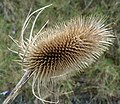 Dipsacus fullonum - Teasel mature seedless head.jpg
