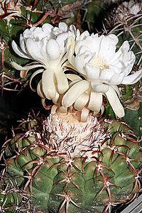 Discocactus heptacanthus (Barb.Rodr.) Britton & Rose.jpg