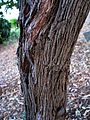 Dodonaea viscosa (5188013052).jpg