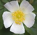 Dog rose (50001176283).jpg