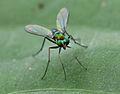 Dolichopodidae sp?, Taman Sari, Yogyakarta, 2014-05-07.jpg