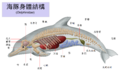 Dolphin anatomy zh hant.png