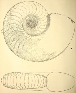 Trigonocerataceae family of molluscs