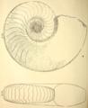 Domatoceras umbilicatum.png