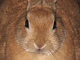 Domestic-rabbit-Leo-front-0a.jpg
