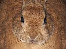 220px-Domestic-rabbit-Leo-front-0a dans LAPIN - LIEVRE