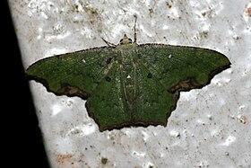 Dooabia puncticostata (Geometridae Geometrinae Geometrini).jpg