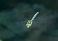 Dragonfly in flight 6 (1350595369).jpg