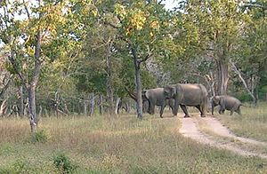 South Deccan Plateau dry deciduous forests - South Indian dry deciduous forests at Bandipur