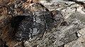 Drymonia ruficornis - Lunar marbled brown - Зубчатый шелкопряд тёмно-серый (47996508263).jpg