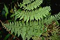 Dryopteris leucorhachis (7259913972).jpg