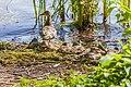 Duck (29264118027).jpg