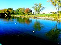 Ducks in The Yahara River - panoramio.jpg