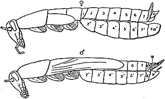 EB1911 Hexapoda - Outline of Male and Female Cockroaches.jpg
