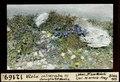 ETH-BIB-Viola calcarata (?) Corviglia bei St. Moritz-Dia 247-12169.tif