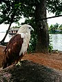 Eagle at rest.jpg