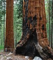 East Fork Grove Sequoias 02.jpg