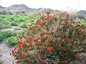 Eriogonum fasciculatum - Flowers drying in Joshua Tree National Park.