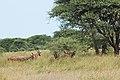 Eastern Serengeti 2012 06 01 3305 (7522726040).jpg