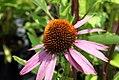 Echinacea Summer Sky 1zz.jpg
