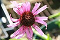 Echinacea tennesseensis Rocky Top 2zz.jpg