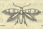 Ectoedemia louisella.png