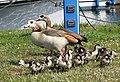 Egyptian geese (Alopochen aegyptiacus) - geograph.org.uk - 812432.jpg
