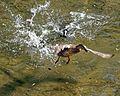 Ein Blässhuhn verteidigt sein Nest gegen eine Stockente.jpg