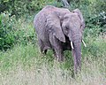 Elephant emerges from the bushes (41949101945).jpg