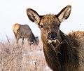 Elk grazing (39589376264).jpg