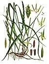 Elytrigia repens - Köhler–s Medizinal-Pflanzen-203.jpg