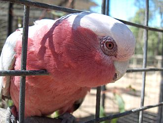 Birdcage - A Galah in an aviary with wide bar spacing.
