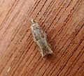 Epinotia sp. - Flickr - gailhampshire.jpg