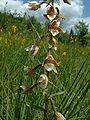 Epipactis palustris1.jpg