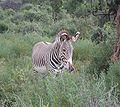 Equus grevyi in Samburu.jpg