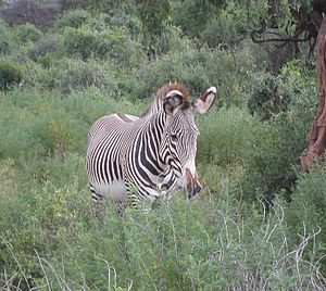 Grévy's zebra - Zebra in dense brush