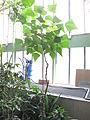 Erythrina speciosa (Jardin des Plantes de Paris).jpg