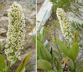 Escallonia pulverulenta (8673564795).jpg