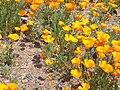 Eschscholzia californica - Kew 11.jpg
