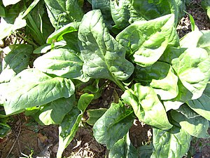 Spinach - Spinach plant in November, Castelltallat