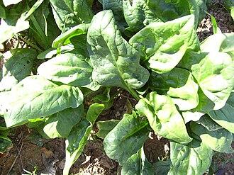 Spinach - Spinach plant in November, Castelltallat