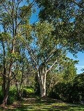 Eucalyptus racemosa 7th Brigade Park Chermside L1090709.jpg
