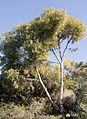 Eucalyptus wandoo 2.JPG