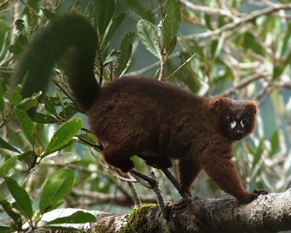 The average adult weight of a Red-bellied lemur is 2.03 kg (4.47 lbs)