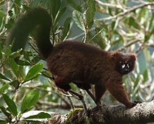 A red-bellied lemur stands on a branch, rubbing his rump against some smaller branches.