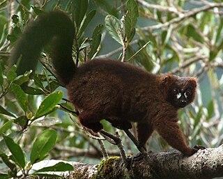 Red-bellied lemur Species of lemur