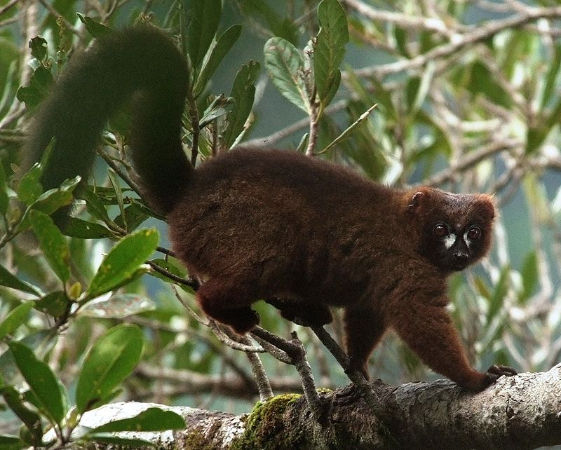 Lemurs use scent-marking to communicate.