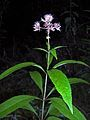 Eupatorium fistulosum (homeredwardprice) 001.jpg